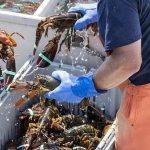 受新冠病毒影響,新西蘭剛抓的100噸大龍蝦,被放回了大海……