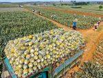 開始收網!大陸禁止進口台灣菠蘿