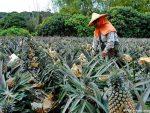 關於台灣菠蘿事件及兩岸統一時間表的分析